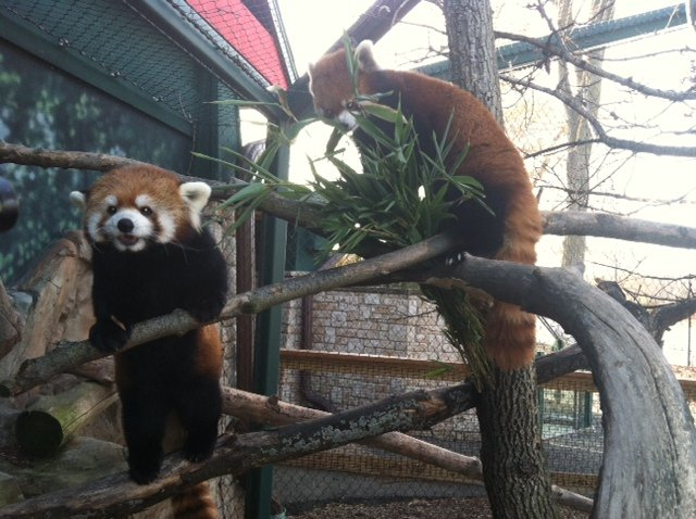 Red pandas at Henry Vilas Zoo
