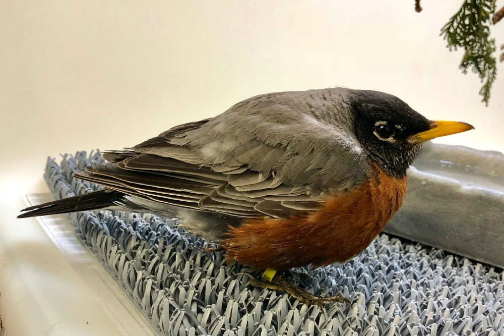 One of seven robins taken in by the Dane County Humane Society, all are suffering from starvation.