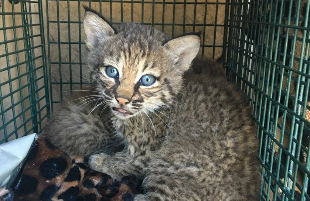 San Antonio bobcat kittens likely won't return to mother