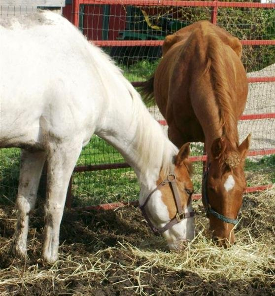 Pip(on the left) and Cite are two of the horses currently available for adoption at Dane County Humane Society