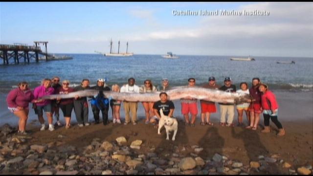 courtesy:  Catalina Island Marine Institute