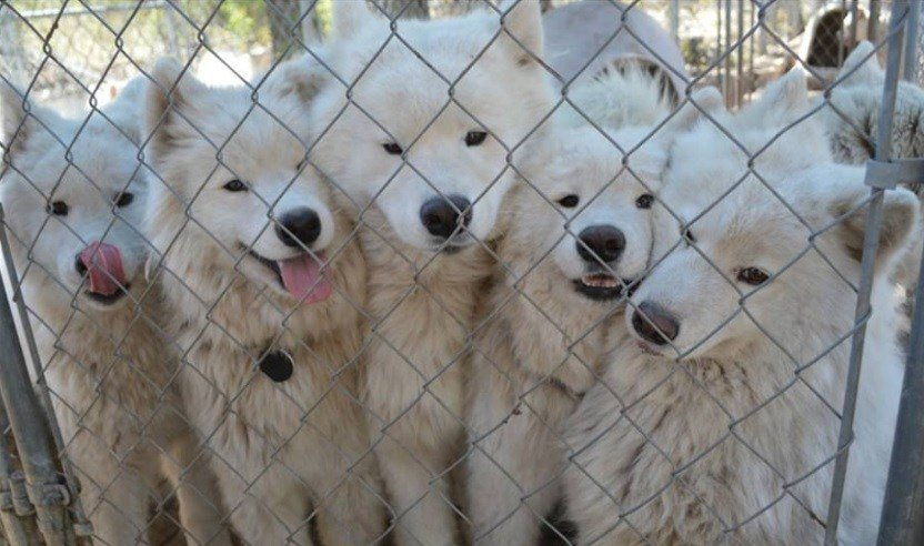 Wisconsin Humane Society Rescues Samoyed Dogs Kttc