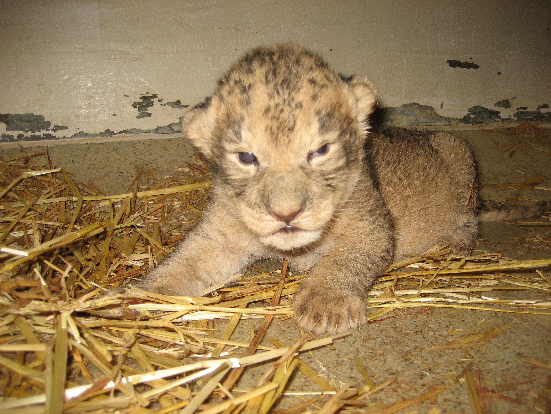 Bg White Baby Lion Cubs