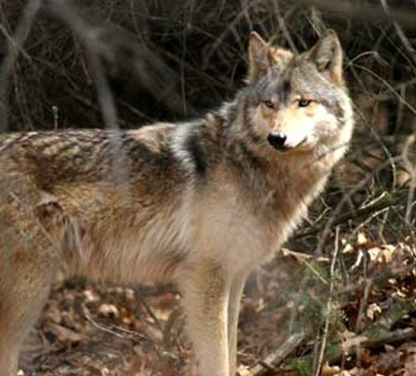 grey wolf research paper