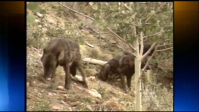 ... - Wisconsin. DNR proposes new rules for wolf hunting with dogs