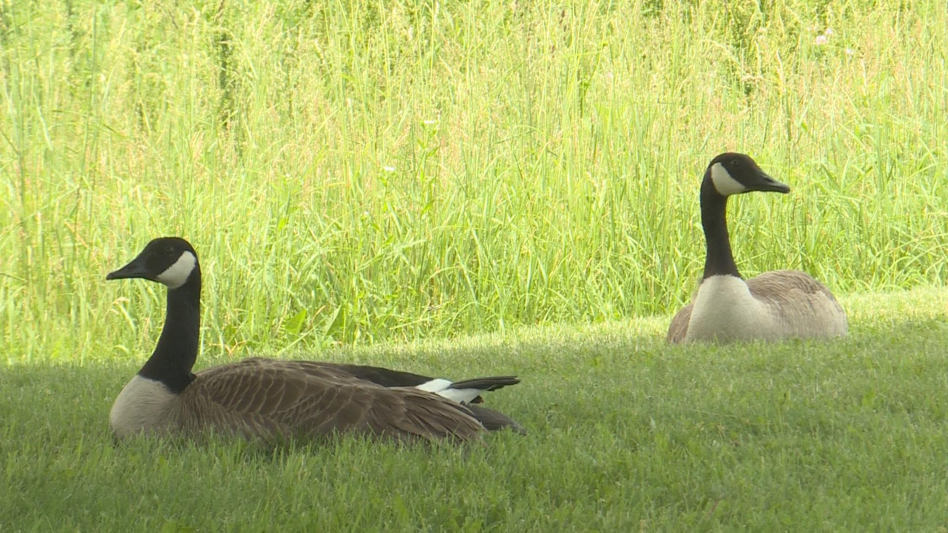 Madison plans to move forward with geese kill.